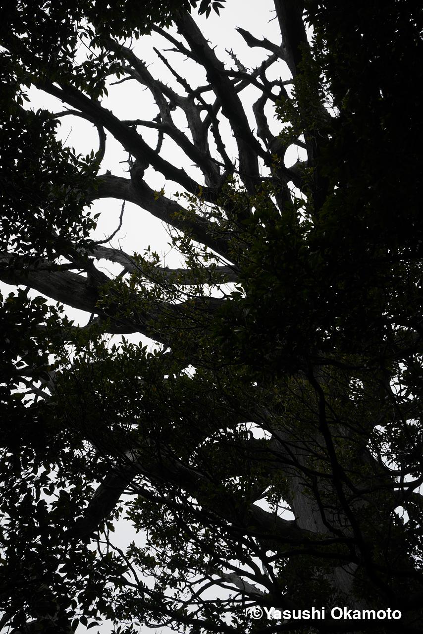 a big ceder tree