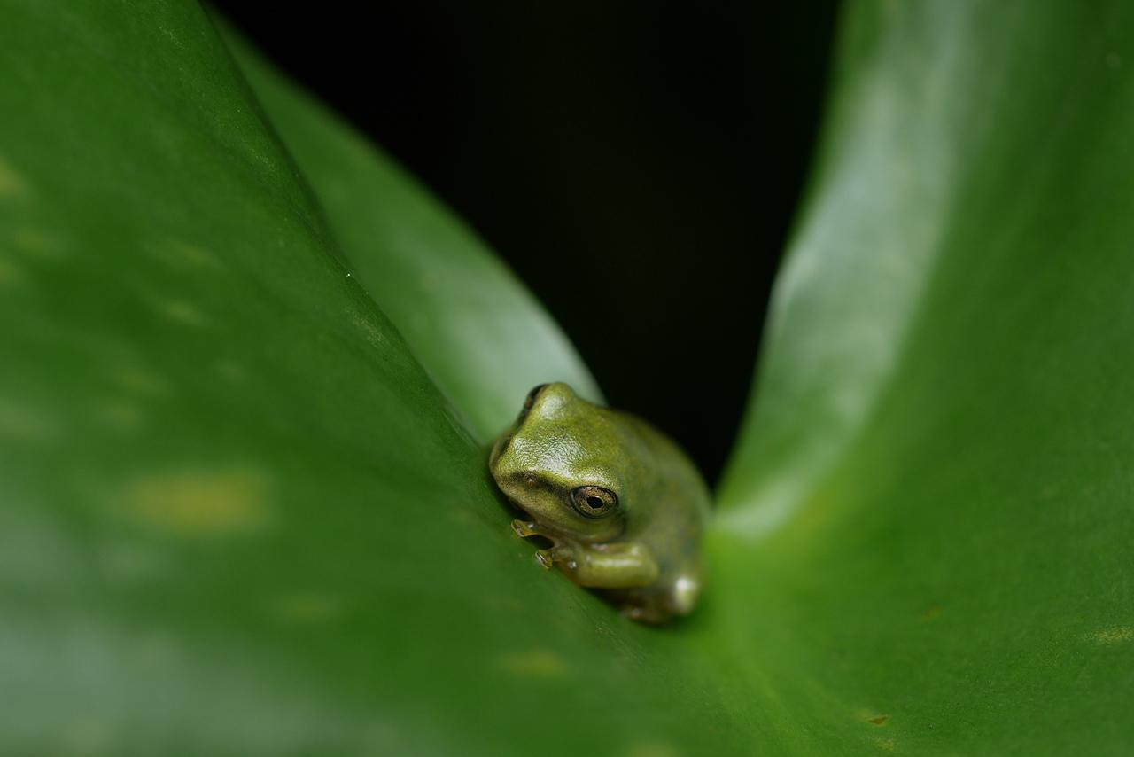 Schlegel's green tree frog