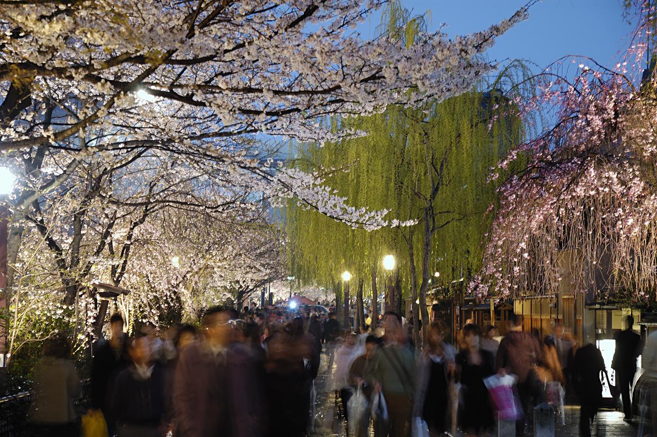 cherry blossoms / gion-shirakawa
