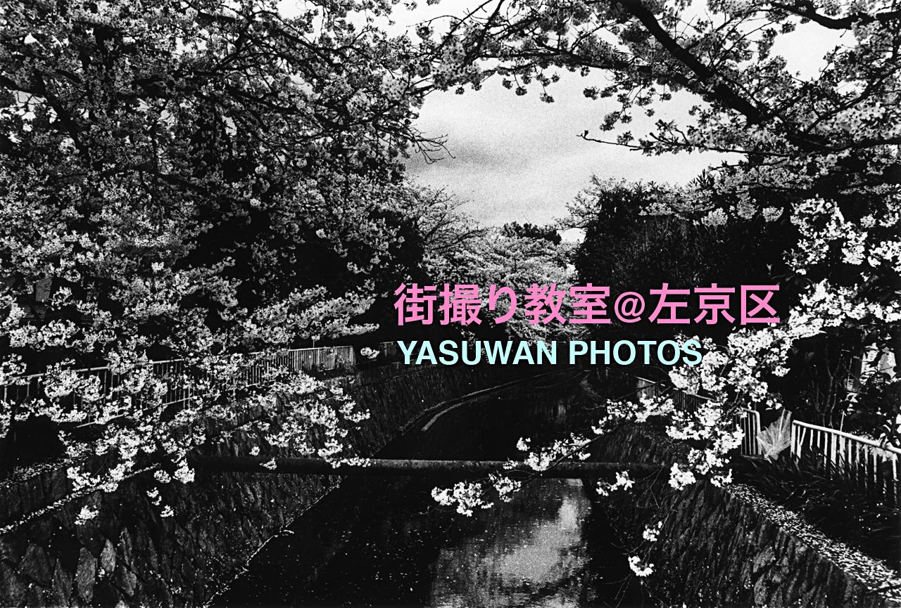 cherry blossoms / shirakawa-sosui