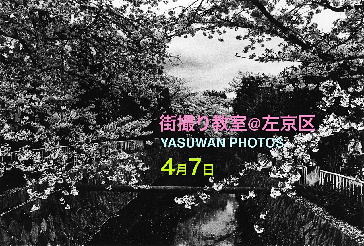 cherry blossoms, shirakawasosuii-dori