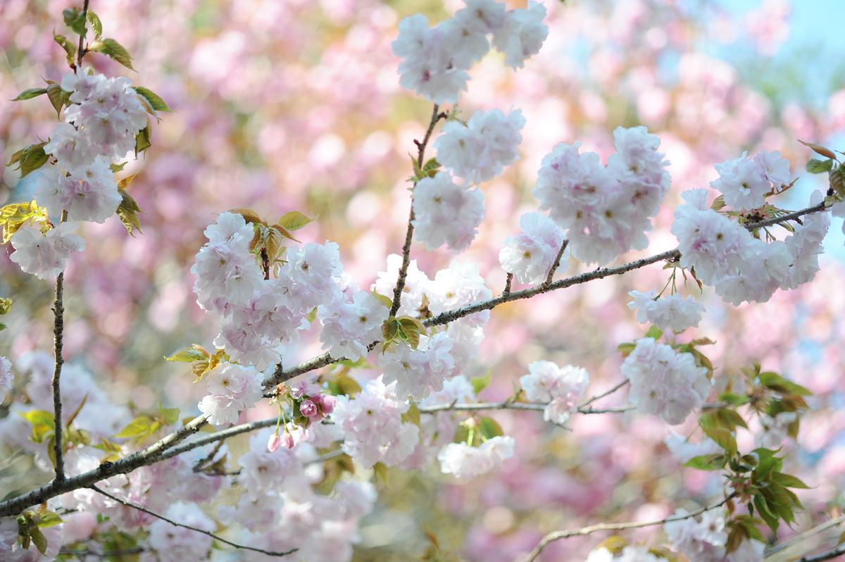 cherry blossom_02