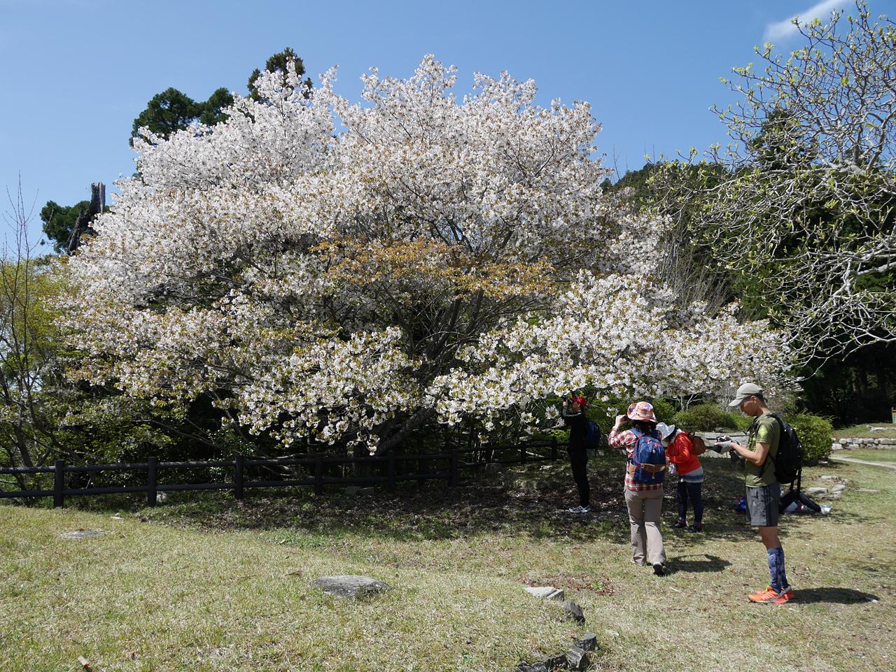 cherry blossom_kyu_tenjoji