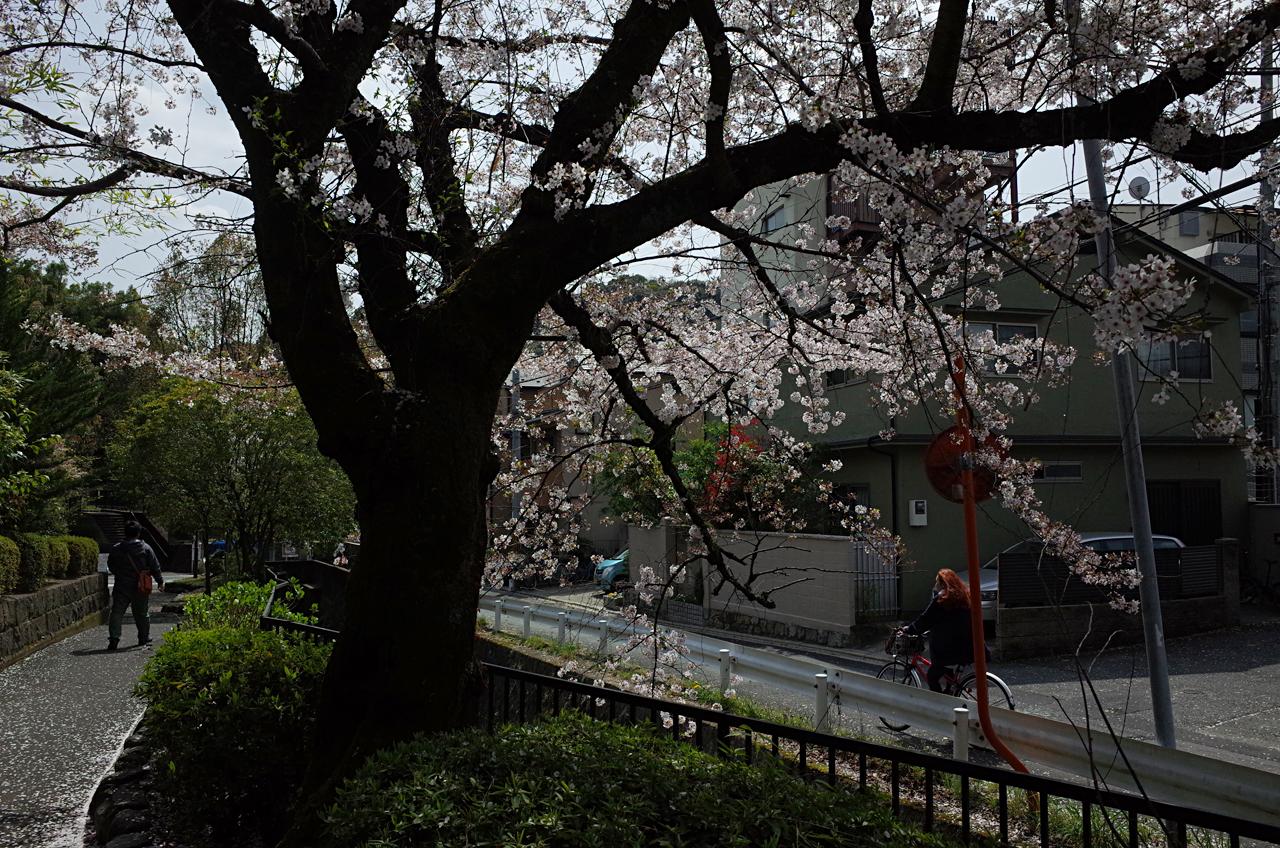 sakura kita-shirakawa_01