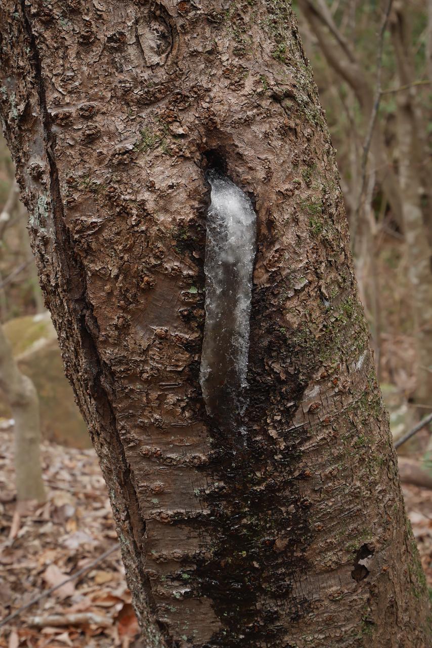 樹液 Sap