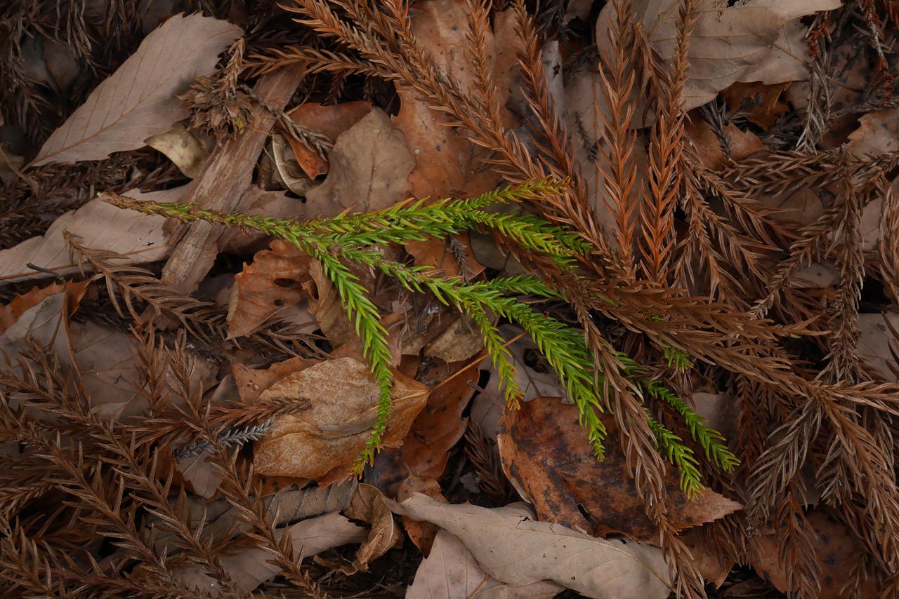 落ち葉 Fallen leaves